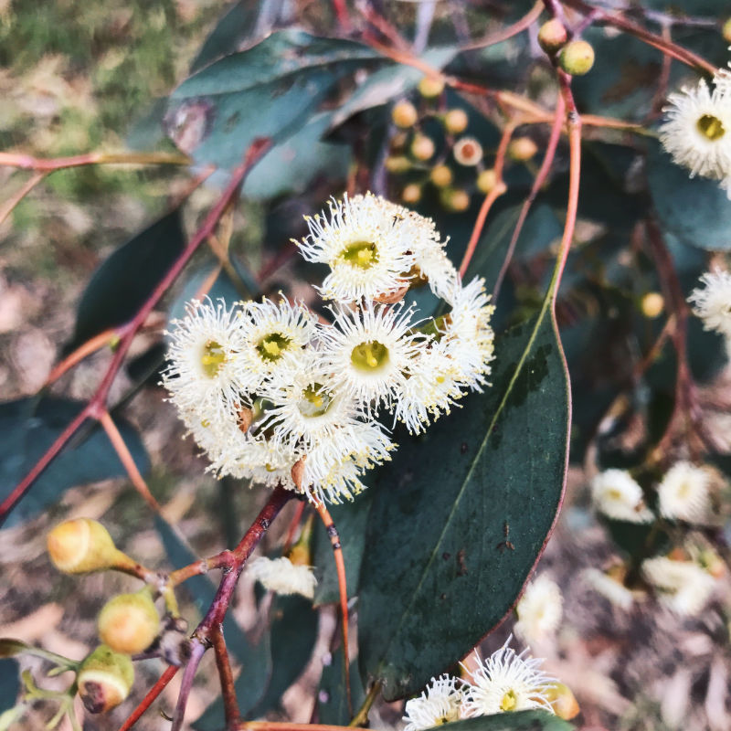 native flowers