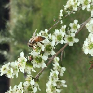 bee on tea tree species